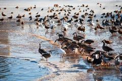 Lo stormo delle anatre si avvicina alla radura dell'acqua in lago congelato nell'inverno freddo da Fotografie Stock