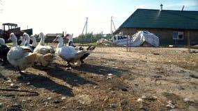 Lo stormo delle oche ed il funzionamento dell'anatra all'uccello coltivano Avicoltura Paesaggio rurale stock footage