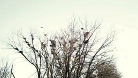 Lo stormo di canto dei corvi sorvola un albero con i nidi stock footage