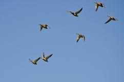 Lo stormo di Mallard Ducks il volo in un cielo blu Immagini Stock Libere da Diritti