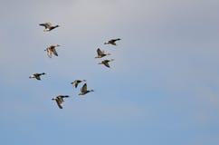 Lo stormo di Mallard Ducks il volo in un cielo nuvoloso Immagini Stock