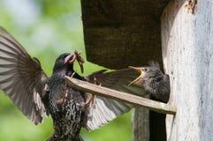 Lo storno alimenta il suo pulcino Fotografie Stock