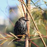 Lo storno del giovane uccello ha volato su un ramo nel parco in spri iniziale Fotografie Stock Libere da Diritti