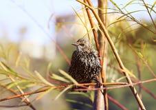 Lo storno dell'uccello ha volato su un ramo nel parco in molla in anticipo Immagini Stock