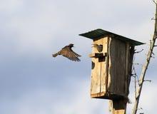 Lo storno nero ha volato alla sua casa con i pulcini in primavera Fotografia Stock