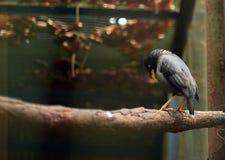 Lo storno nero si è appollaiato su un ramo nel fondo dello zoo Fotografie Stock Libere da Diritti