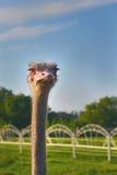 Lo struzzo dello struzzo head Immagini Stock