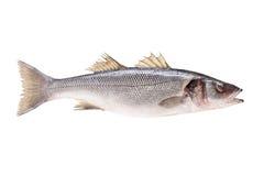 Lo studio ha sparato di un pesce del branzino Immagine Stock Libera da Diritti