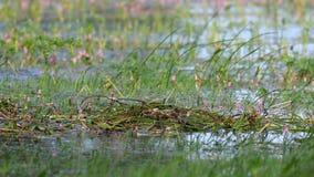 Lo svasso maggiore, cristatus del Podiceps, uccello acquatico porta le alghe costruire un nido video d archivio