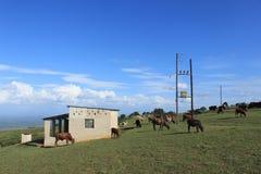 Lo Swaziland rurale, mucche e cavo elettrico, Africa meridionale, natura africana fotografia stock libera da diritti