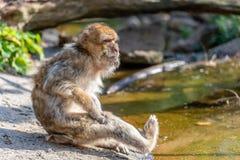 Lo sylvanus del Macaca sta graffiando la sua gamba fotografia stock