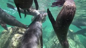 Lo zalophus californianus californiano dei leoni marini sta giocando con con gli operatori subacquei in La Paz del mare di Cortez archivi video
