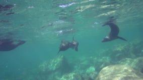 Lo zalophus californianus californiano dei leoni marini sta giocando con con gli operatori subacquei in La Paz del mare di Cortez stock footage
