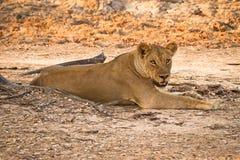 Lo Zambia di safari fotografia stock