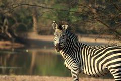 Lo Zambia selvaggio della zebra Immagine Stock