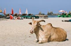 Lo zebù (bue humped indiano) sta ponendo sulla spiaggia Immagine Stock Libera da Diritti