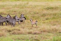 Lo zelo abbaglia delle zebre dentro in Serengeti, Tanzania Immagini Stock Libere da Diritti