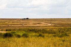 Lo zelo abbaglia delle zebre dentro in Serengeti, Tanzania Fotografia Stock Libera da Diritti