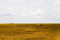 Lo zelo abbaglia delle zebre dentro in Serengeti, Tanzania Fotografie Stock Libere da Diritti