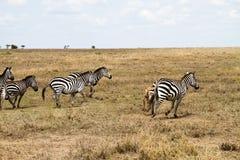 Lo zelo o abbaglia delle zebre dentro in Serengeti, Tanzania Immagini Stock Libere da Diritti