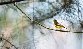 Lo zoom ha sparato di un colibrì mentre riposava sul gambo dell'albero che cerca l'alimento del fiore fotografia stock libera da diritti