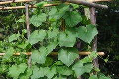 lo zucchini freschi del taglio Fotografia Stock Libera da Diritti