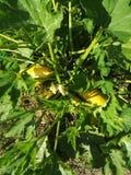 lo zucchini freschi del taglio Fotografie Stock Libere da Diritti