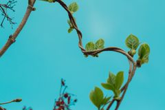 Loach, ivy, a plant that crawls intertwining with each other up. Blue background, isolated royalty free stock photos