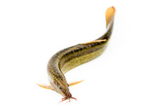 Loach Royalty Free Stock Photography