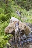 Load bearing donkey Stock Photography