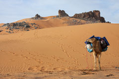 Loaded camel in the sand desert Stock Photos