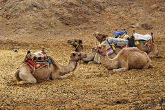Loaded camels Royalty Free Stock Photo