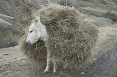 Loaded donkey. A donkey loaded with straw bales Stock Images