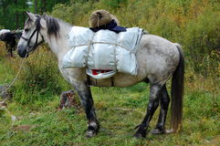Loaded horse is ready to hit the road. Buriat horse breed. Stock Photography