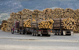 Loaded Logging Tucks. Two logging trucks delivering logs to a sorting yard Stock Images