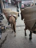 Loaded Work Mules Streets of India Royalty Free Stock Images