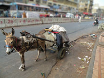 Loader Donkey. Donkey is carrying oil container on a street Royalty Free Stock Photography