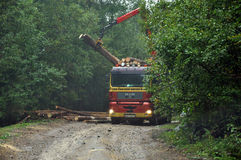 Loading A Timber Truck With Freshly Chopped Tree Trunks In The F Royalty Free Stock Photo