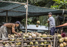 Loading coconuts Royalty Free Stock Image