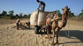Loading straw onto cart. Loading straw onto camel-driven cart, Pushkar, Rajasthan, India stock video