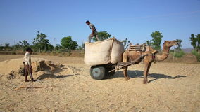 Loading straw onto cart. Loading straw onto camel-driven cart, Pushkar, Rajasthan, India stock video footage