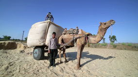 Loading straw onto cart. Loading straw onto camel-driven cart, Pushkar, Rajasthan, India stock footage