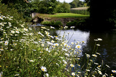 Loads of Daisies beside a river. Stock Photos