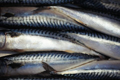 Loads of fresh raw mackerels at the fish market stand full frame. – Fish and Royalty Free Stock Image