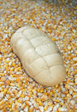 Loaf of bread surrounded by corn in autumn Stock Photo