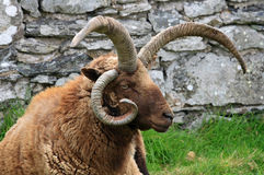 Loaghtan Ram Royalty Free Stock Images
