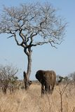 Loan elephant bull standing near a dry tree royalty free stock photography