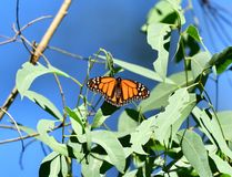 A loan Monarch Butterfly. Monarch Butterfly with Colorful wings fully spread eating fresh leaves for lunch stock images
