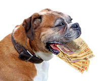 Loans that bite. Photo of cash notes in vicious dogs mouth depicting loans that bite,debt,loan sharks etc stock photography