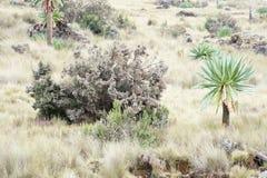 Lobélie géante en montagnes de Simien Photographie stock libre de droits